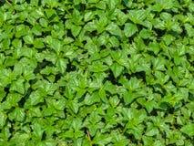 Πράσινο φρέσκο nettles υπόβαθρο, σύσταση φύλλων Στοκ Φωτογραφίες