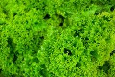 Πράσινο φρέσκο salat Lollo Bionda Στοκ Εικόνες