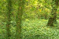 Πράσινο φυλλώδες δέντρο σε βάθη του δάσους Στοκ Φωτογραφία