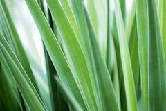 Πράσινο φυσικό τροπικό φυλλώδες υπόβαθρο με τα μακριά λεπτά φύλλα Στοκ Φωτογραφία