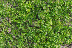 Πράσινο φυτό αναρριχητικών φυτών που καλύπτει το έδαφος με τα φύλλα Στοκ Εικόνες