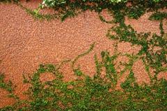 πράσινο φυτό αναρριχητικών &phi Στοκ Φωτογραφίες