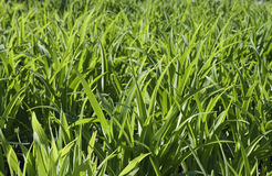 πράσινο φυτό ανασκόπησης Στοκ φωτογραφία με δικαίωμα ελεύθερης χρήσης