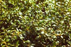 Πράσινο φυτό με τα μικρά φύλλα, χλόη Στοκ Εικόνες