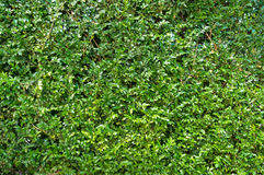 Πράσινο φυτό, μικρή σύσταση χλόης φύλλων Στοκ φωτογραφία με δικαίωμα ελεύθερης χρήσης