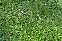 Πράσινο φυτό, μικρή σύσταση χλόης φύλλων Στοκ Εικόνες
