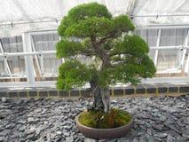 Πράσινο φυτό μπονσάι φύλλων στοκ φωτογραφία