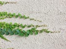 Πράσινο φυτό φύλλων στο άσπρο υπόβαθρο τοίχων τσιμέντου Στοκ Εικόνες