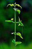 πράσινο φυτό Στοκ Εικόνες