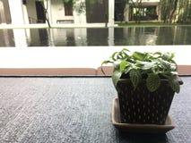 Πράσινο φυτό cupreata Episcia φύλλων στον ψημένο άργιλο που τίθεται κοντά στο παράθυρο στοκ εικόνα