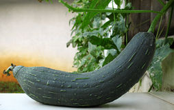 πράσινο φυτό loofah Στοκ φωτογραφία με δικαίωμα ελεύθερης χρήσης