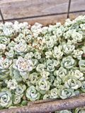 πράσινο φυτό succulent Στοκ Εικόνες