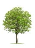 Πράσινο φυλλώδες δέντρο στο λευκό Στοκ εικόνα με δικαίωμα ελεύθερης χρήσης