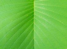 πράσινο φως φύλλων Στοκ Εικόνες