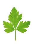 πράσινο φύλλο ένα λευκό μαϊ& στοκ φωτογραφία με δικαίωμα ελεύθερης χρήσης