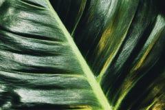 πράσινο φύλλο ανασκόπησης τροπικό Στιλπνή σύσταση εγκαταστάσεων καλλυντικά οργανικά στοκ εικόνες με δικαίωμα ελεύθερης χρήσης