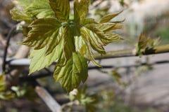 πράσινο φύλλο δροσιάς φωτογραφία Στοκ Εικόνα