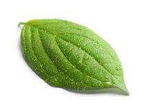 πράσινο φύλλο δροσιάς Στοκ Φωτογραφία