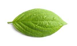 πράσινο φύλλο δροσιάς Στοκ εικόνες με δικαίωμα ελεύθερης χρήσης