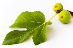 πράσινο φύλλο δύο σύκων Στοκ φωτογραφίες με δικαίωμα ελεύθερης χρήσης