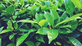 Πράσινο φύλλο και πτώσεις του νερού Στοκ Εικόνες