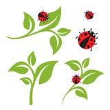 Πράσινο φύλλο και σύνολο Ladybug στοκ εικόνες