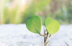 Πράσινο φύλλο καρδιών βαλεντίνων στο ξύλινο υπόβαθρο στοκ εικόνες