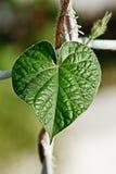 πράσινο φύλλο καρδιών στοκ εικόνες