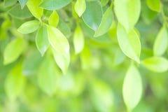 Πράσινο φύλλο κινηματογραφήσεων σε πρώτο πλάνο στον κήπο στο θολωμένο υπόβαθρο Beautifu Στοκ Εικόνες