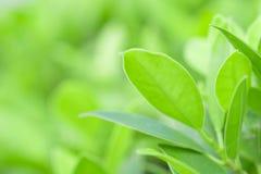 Πράσινο φύλλο κινηματογραφήσεων σε πρώτο πλάνο στον κήπο στο θολωμένο υπόβαθρο Beautifu Στοκ Φωτογραφία