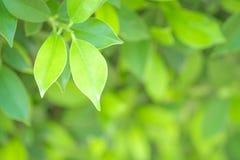Πράσινο φύλλο κινηματογραφήσεων σε πρώτο πλάνο στον κήπο στο θολωμένο υπόβαθρο Beautifu Στοκ Φωτογραφίες