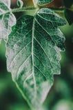 Πράσινο φύλλο κινηματογραφήσεων σε πρώτο πλάνο Στοκ φωτογραφία με δικαίωμα ελεύθερης χρήσης