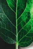 Πράσινο φύλλο κινηματογραφήσεων σε πρώτο πλάνο Στοκ Φωτογραφία