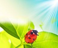 πράσινο φύλλο λαμπριτσών α&p Στοκ Φωτογραφία
