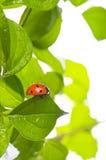 πράσινο φύλλο λαμπριτσών α&p Στοκ εικόνα με δικαίωμα ελεύθερης χρήσης
