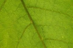 πράσινο φύλλο λεπτομερ&epsilon Στοκ Φωτογραφίες