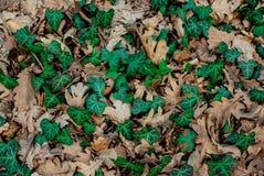 Πράσινο φύλλο Λιάνα στα ξηρά δρύινα φύλλα απεικόνιση αποθεμάτων