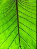 Πράσινο φύλλο - μακροεντολή Στοκ Εικόνες