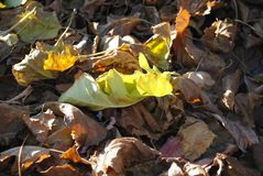 Πράσινο φύλλο μεταξύ ενός σωρού του ξηρού φυλλώματος φθινοπώρου στοκ εικόνες με δικαίωμα ελεύθερης χρήσης
