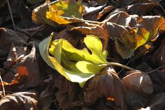Πράσινο φύλλο μεταξύ ενός σωρού του ξηρού φυλλώματος φθινοπώρου στοκ εικόνες