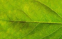 Πράσινο φύλλο με τη φλέβα λεπτομέρειας στοκ εικόνες