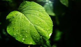 Πράσινο φύλλο με τις πτώσεις νερού το καλοκαίρι στον κήπο, μαύρο υπόβαθρο στοκ φωτογραφίες με δικαίωμα ελεύθερης χρήσης