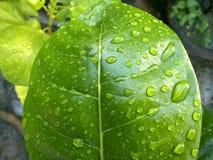 Πράσινο φύλλο με τις πτώσεις νερού στοκ φωτογραφία με δικαίωμα ελεύθερης χρήσης
