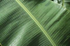 πράσινο φύλλο μπανανών ανασ Στοκ Εικόνες