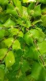 πράσινο φύλλο ομορφιάς Στοκ Φωτογραφία