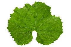 Πράσινο φύλλο πεπονιών στο λευκό Στοκ εικόνα με δικαίωμα ελεύθερης χρήσης