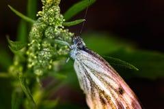 πράσινο φύλλο πεταλούδων Στοκ φωτογραφία με δικαίωμα ελεύθερης χρήσης