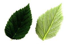 Πράσινο φύλλο σμέουρων δύο που απομονώνεται από την άσπρη πλευρά υποβάθρου, κορυφών και κατώτατων σημείων του φύλλου στοκ φωτογραφία με δικαίωμα ελεύθερης χρήσης