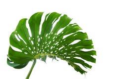 Πράσινο φύλλο του deli monstera ή Monstera διάσπαση-φύλλων philodendron Στοκ φωτογραφία με δικαίωμα ελεύθερης χρήσης