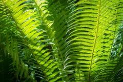 Πράσινο φύλλο φτερών κινηματογραφήσεων σε πρώτο πλάνο στον επίσημο κήπο Στοκ Εικόνες